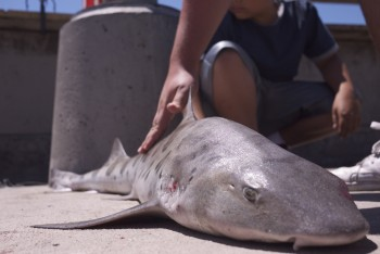 Leopard Shark - Venice Pier - Venice Beach, CA